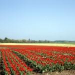 Field of Tulips – 1967